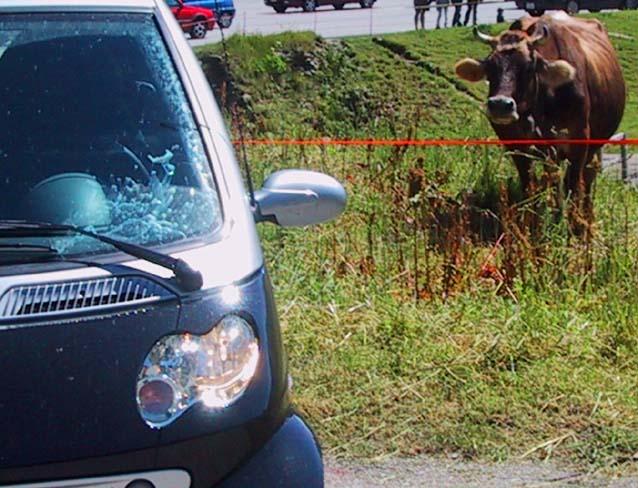 Smart Cabrio Reise, Smart und Kuh